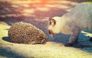 hedgehog with cat